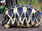 International Wildlife Crime Operation Rescues Stolen Burmese Star Tortoises