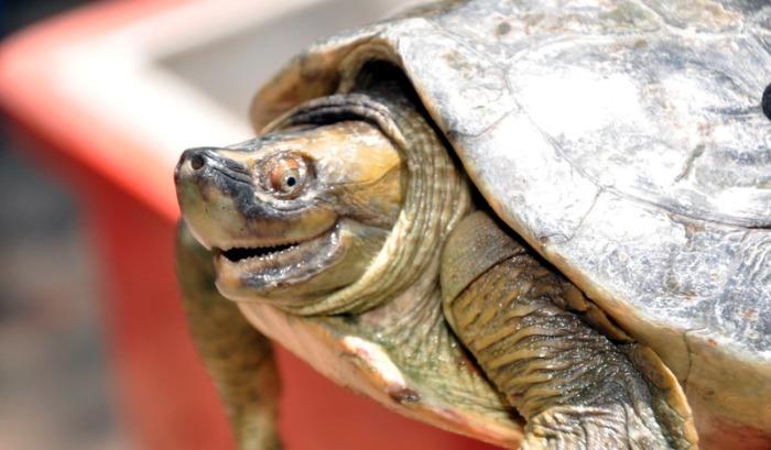 WCS Myanmar > Wildlife > Turtle and Tortoise